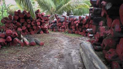 Tronchi di palissandro tagliati e lasciati ad asciugare in una foresta del'sud America. Quetsa varietà rosa acceso è conosciuta come bois de rose, rosewood o legno di rosa in Italia.